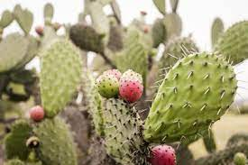 Why you ought to eat more Cactus, the gut-accommodating food that battles Inflammation